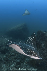 Eastern Pacific Spotted Eagleray
