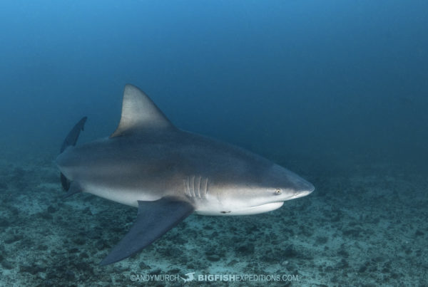 Bull shark diving at the Bat Islands.