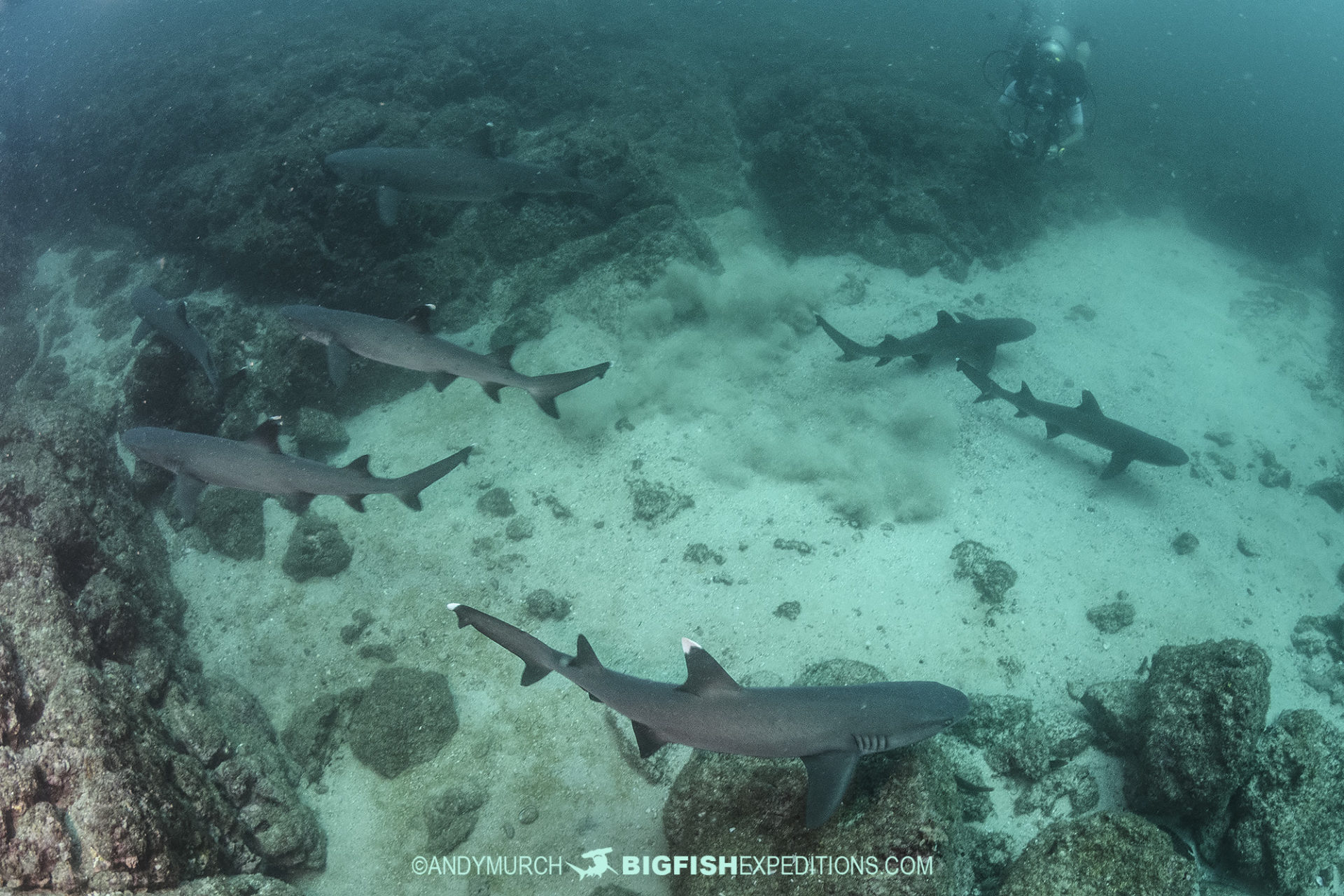 Whitetip Reef Sharks in Costa Rica