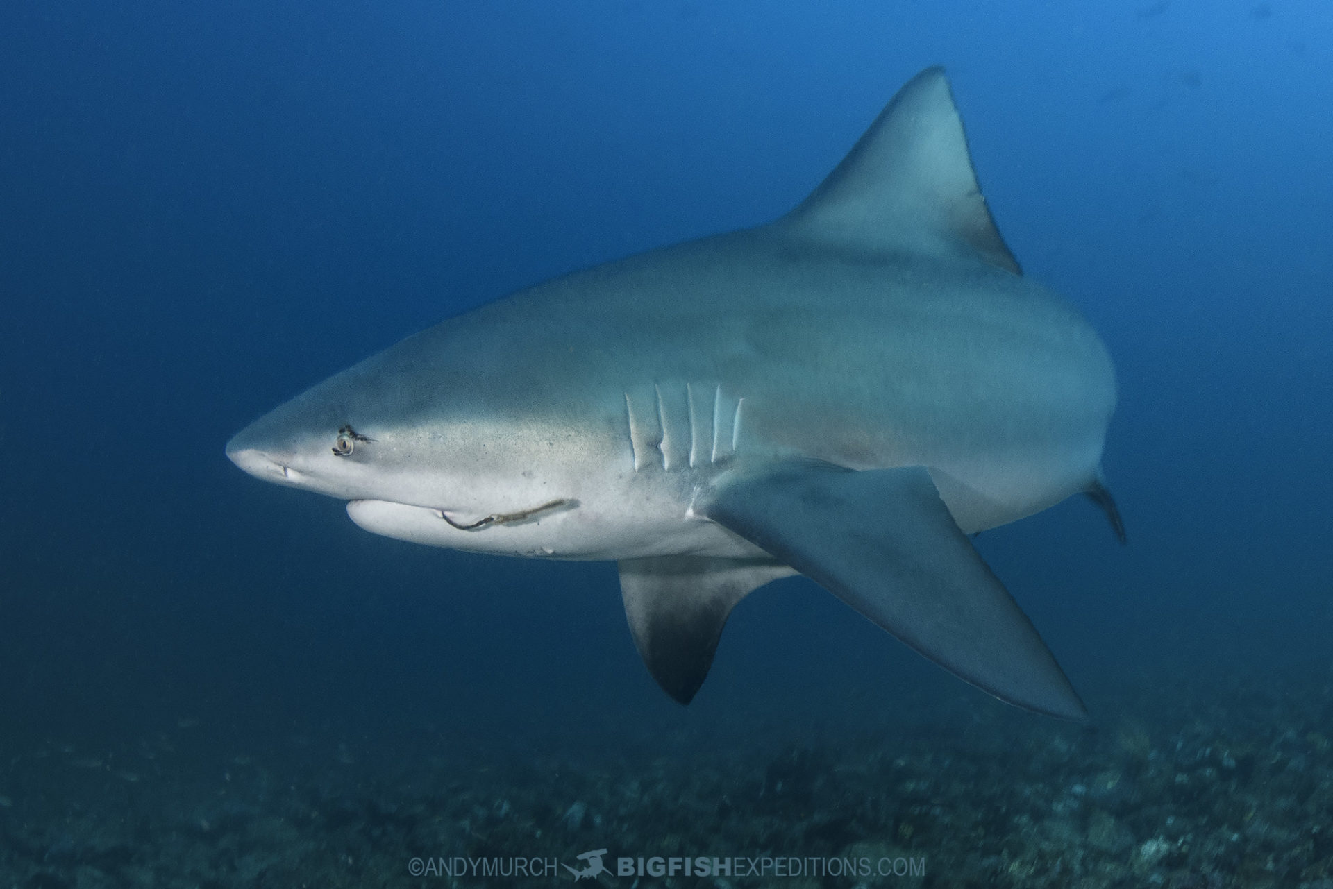 Diving with bull sharks at the Bat Islands