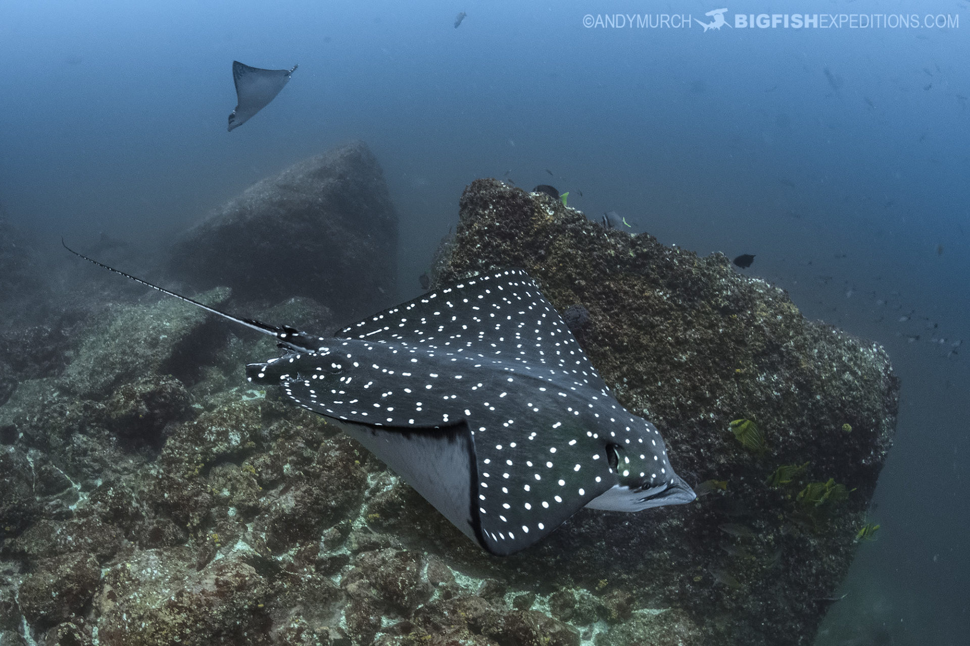 Pacific spotted eagle ray at the Bat Islands